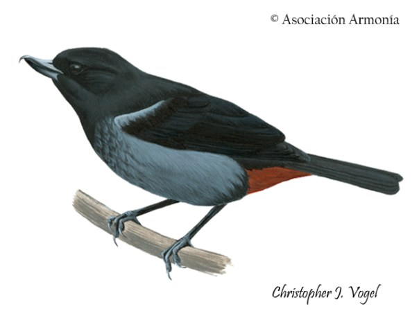 Gray-bellied Flowerpiercer (Diglossa carbonaria)