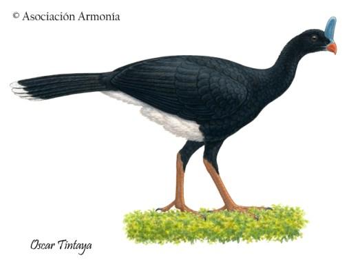 Horned Curassow (Pauxi unicornis)