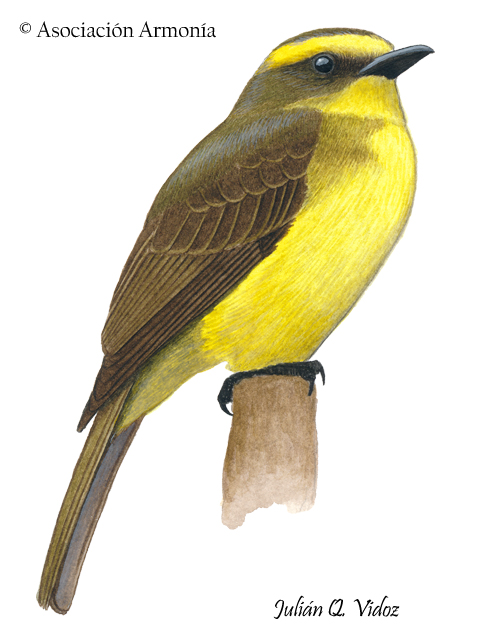 Lemon-browed Flycatcher (Conopias cinchoneti)