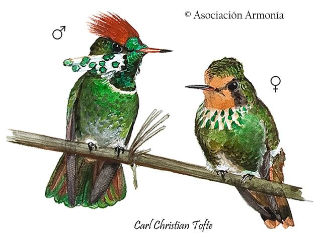 Lophornis gouldii (Dot-eared Coquette)