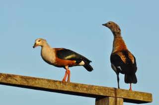 Orinoco Goose BANR 13JUL15