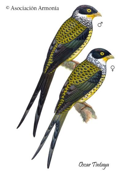 Palkachupa Cotinga (Phibalura boliviana)