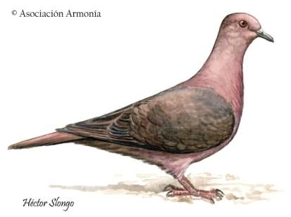 Ruddy Pigeon (Patagioenas subvinacea)