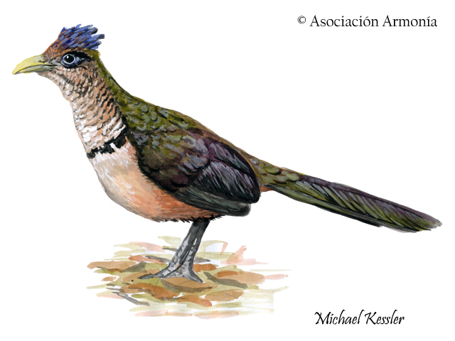 Rufous-vented Ground-Cuckoo (Neomorphus geoffroyi)