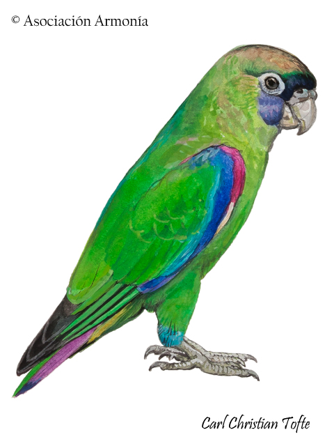 Scarlet-shouldered Parakeet (Touit huetii)