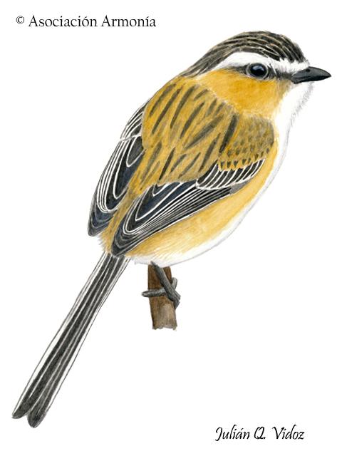 Sharp-tailed Tyrant (Culicivora caudacuta)