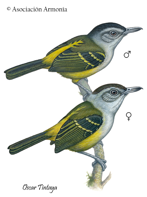 Yellow-rumped Antwren (Euchrepomis sharpei)