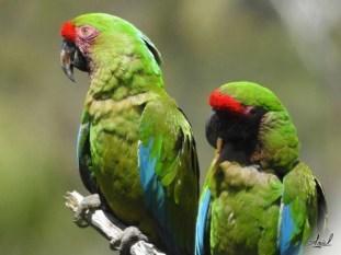 Military Macaw (Ara militaris). Copyright Saul Arias.
