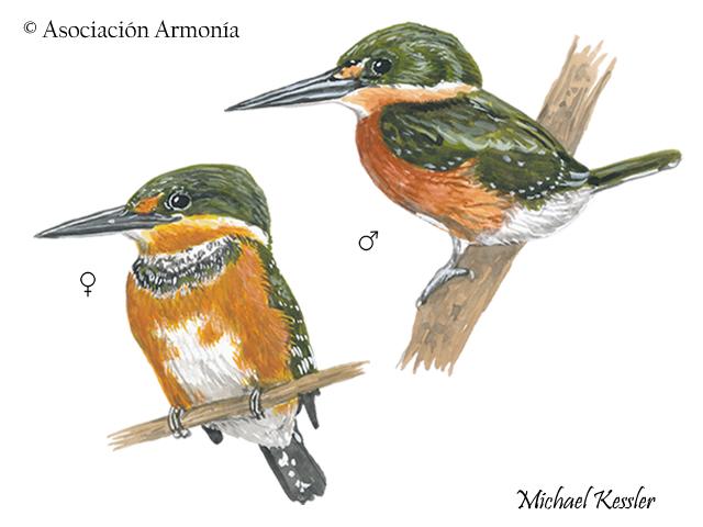 American Pygmy Kingfisher (Chloroceryle aenea).