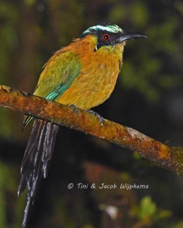 Andean Motmot (Momotus aequatorialis). Copyright T&J Wijpkema.