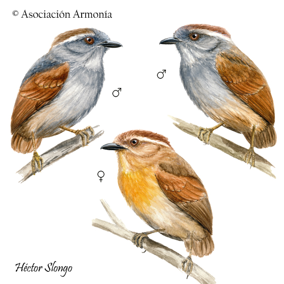 Ash-throated Gnateater (Conopophaga peruviana)