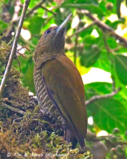 Bar-bellied Woodpecker (Veniliornis nigriceps). Copyright T&J Wijpkema.