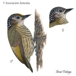 Bar-breasted Piculet (Picumnus aurifrons).