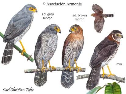 Barred Forest-Falcon (Micrastur ruficollis)