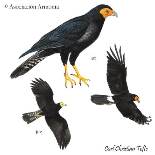 Black Caracara (Daptrius ater).