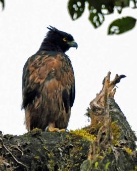 Black-and-chestnut Eagle (Spizaetus isidori) Copyright T&J Wijpkema.