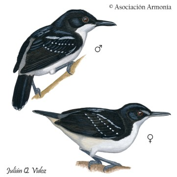 Black-and-white Antbird (Myrmochanes hemileucus)
