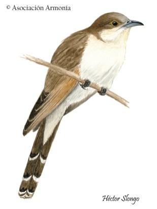 Black-billed Cuckoo (Coccyzus erythrophthalmus)