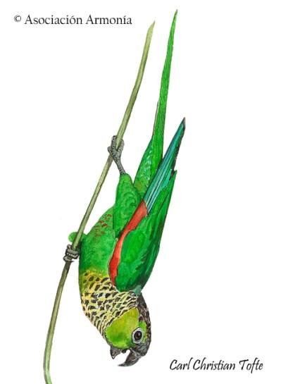 Black-capped Parakeet (Pyrrhura rupicola)