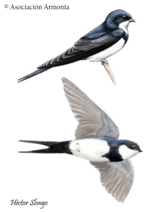 Black-collared Swallow (Pygochelidon melanoleuca)