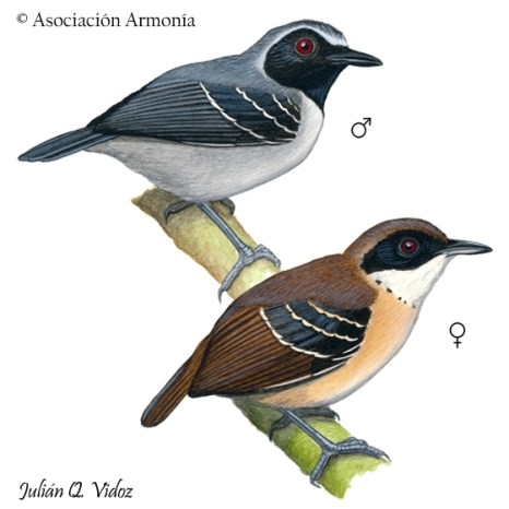 Black-faced Antbird (Myrmoborus myotherinus)