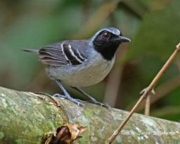 Black-faced Antbird (Myrmoborus myotherinus) male. Copyright T&J Wijpkema.