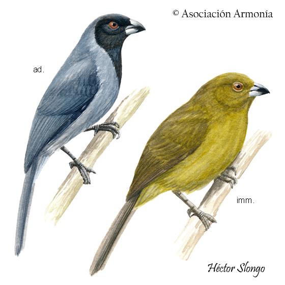 Black-faced Tanager (Schistochlamys melanopis)