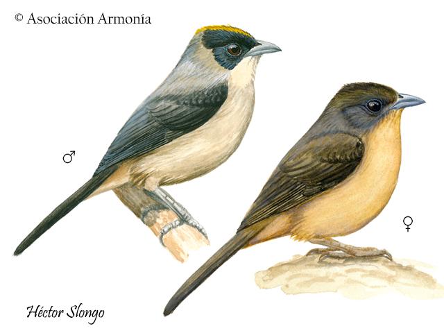 Black-goggled Tanager (Trichothraupis melanops).