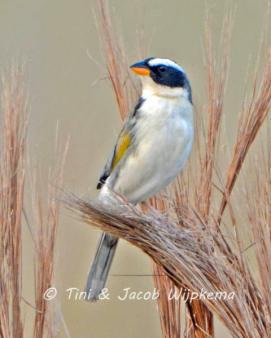 Black-masked Finch (Coryphaspiza melanotis). Copyright T&J Wijpkema.