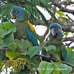 Blue-headed Macaw (Primolius couloni) Copyright T&J Wijpkema.