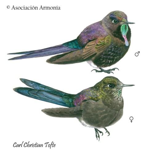 Blue-mantled Thornbill (Chalcostigma stanleyi)