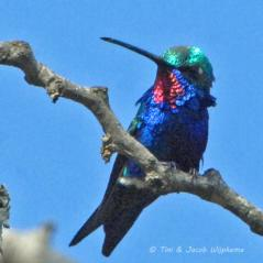 Blue-tufted Starthroat (Heliomaster furcifer). Copyright T&J Wijpkema.