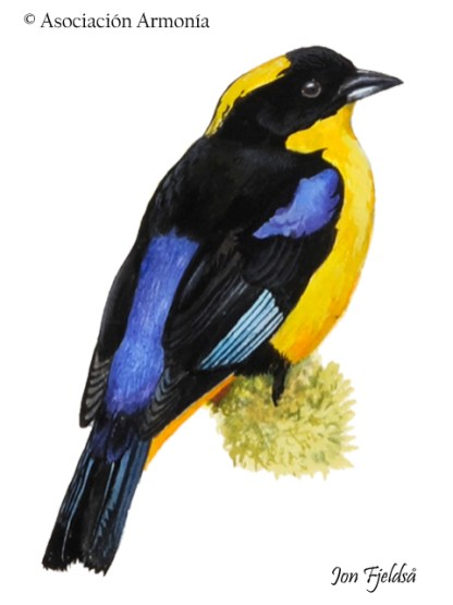 Blue-winged Mountain Tanager (Anisognathus somptuosus).