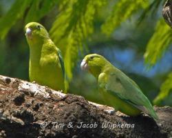 Blue-winged Parrotlet (Forpus xanthopterygius). Copyright T&J Wijpkema.