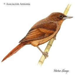 Bolivian (Syndactyla striata)