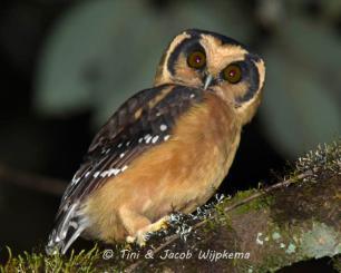 Buff-fronted Owl (Aegolius harrisii). Copyright T&J WIjpkema.