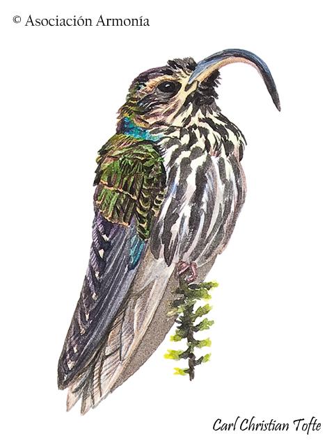 Buff-tailed Sicklebill (Eutoxeres condamini)