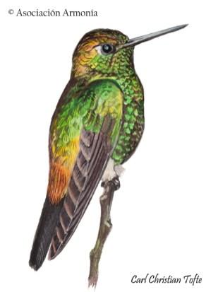 Buff-thighed Puffleg (Haplophaedia assimilis)