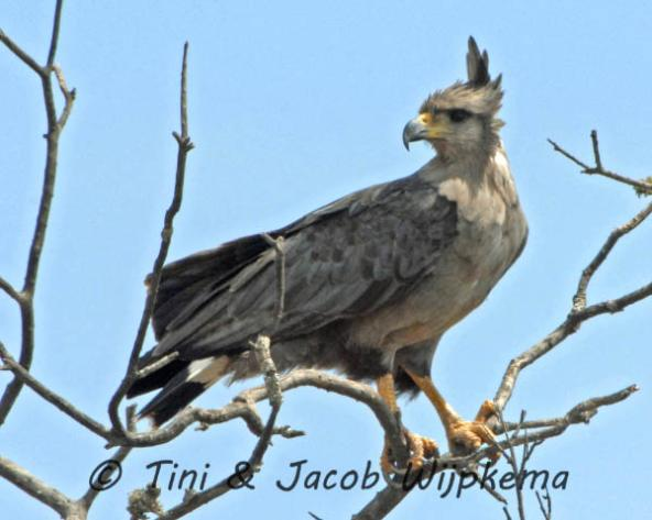 Chaco Eagle (Buteogallus coronatus). Copyright T&J Wijpkema.