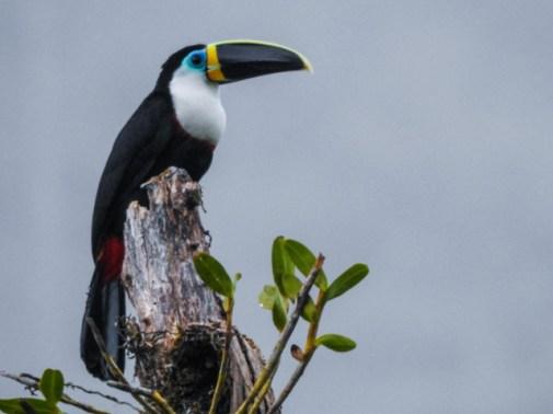 Channel-billed Toucan (Ramphastos vitellinus) Copyright JL Martinez