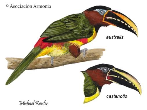 Chestnut-eared Aracari (Pteroglossus castanotis)