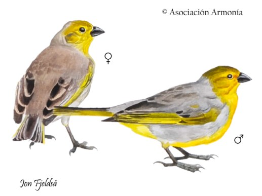 Citron-headed Yellow-Finch (Sicalis luteocephala)