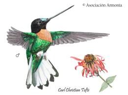 Collared Inca (Coeligena torquata)