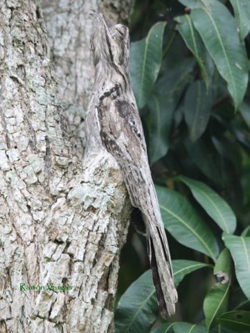 Common Potoo (Nyctibius griseus). Copyright R Vargas