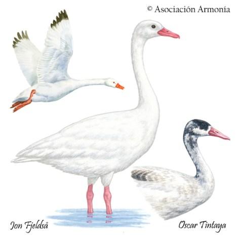 Coscoroba Swan (Coscoroba coscoroba)