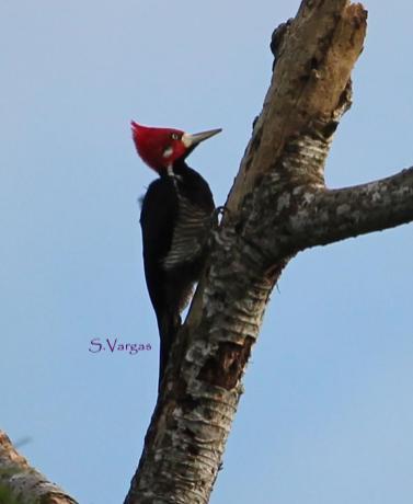 Crimson-crested Woodpecker (Campephilus melanoleucos) Copyright S Vargas.