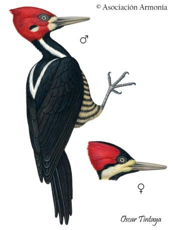 Crimson-crested Woodpecker (Campephilus melanoleucos)