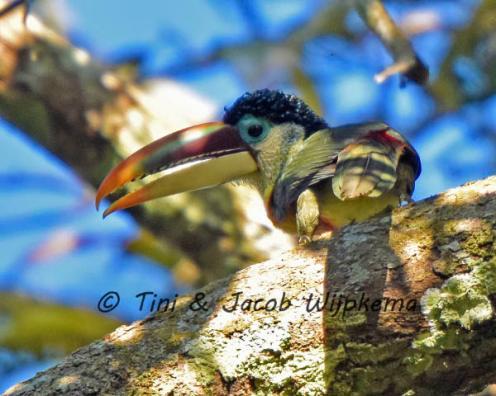 Curl-crested Araçari (Pteroglossus beauharnaesii). Copyright T&J Wijpkema.