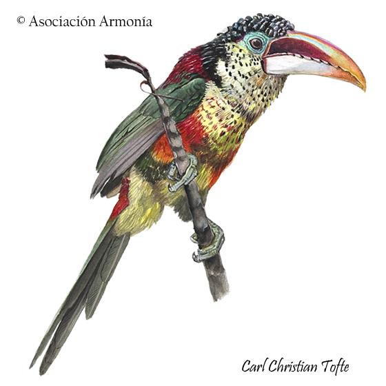 Curl-crested Aracari (Pteroglossus beauharnaesii)