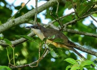Dark-billed Cuckoo (Coccyzus melacoryphus). Copyright JL Martinez.